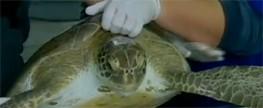 Lixo ameaça tartarugas que chegam ao Brasil