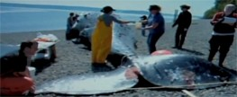 Large amount of garbage found in stomach of dead whale