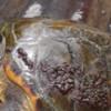 Junk food para as tartarugas marinhas no sul do Brasil