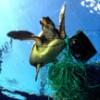 Plastic debris 'killing Adriatic loggerhead turtles'