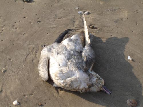 Ave marinha encontrada morta em uma praia da costa sul do Brasil. Muitas destas aves encontram-se com o trato digestório repleto de plásticos. © Fernanda Imperatrice Colabuono / IO-USP