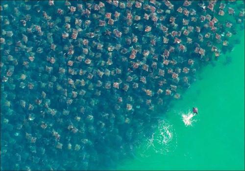 Esta foto de arraias na costa do México foi escolhida a vencedora da edição 2010 do prêmio Fotógrafo de Meio Ambiente do Ano da ONG britânica CIWEM. Crédito: Florian Schulz/EPOTY.ORG/SPECIALISTSTOCK/BARCROFT MEDIA