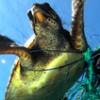 Tartarugas são encontradas mortas